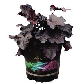 Heuchera Northern Exposure Black 12 cm Pot