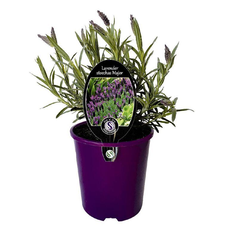Lavender Major 1.9L Pot, , hi-res