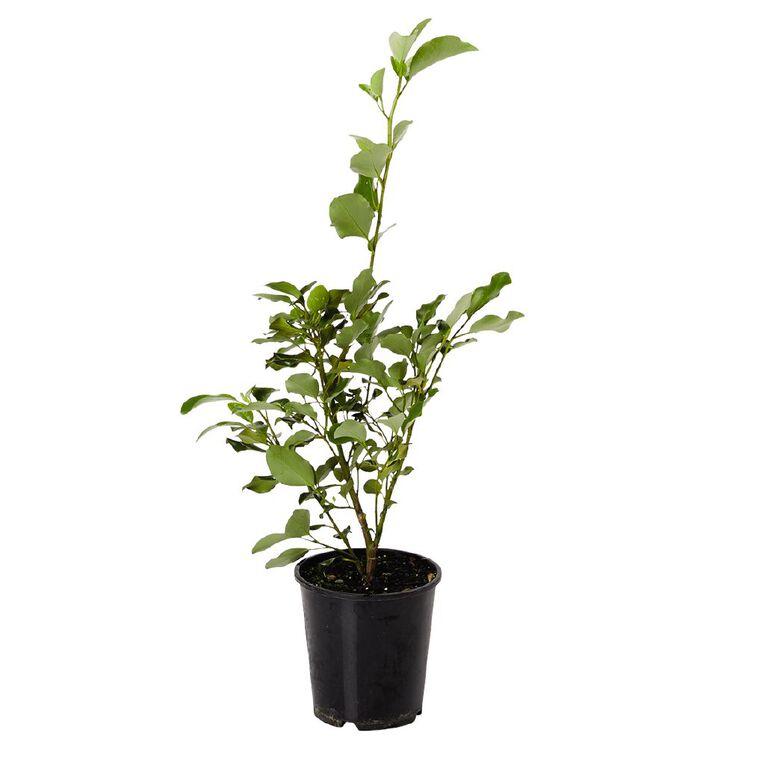 GRISELINIA 3.3L Pot, , hi-res