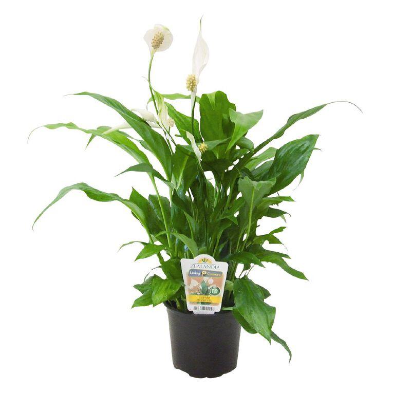 Indoor Spathiphyllum (Peace Lily) 12cm Pot, , hi-res