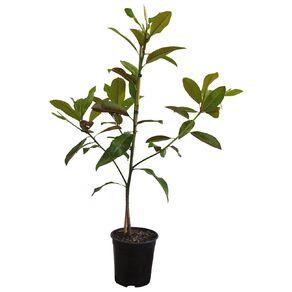 Magnolia Evergreen 3.3L Pot
