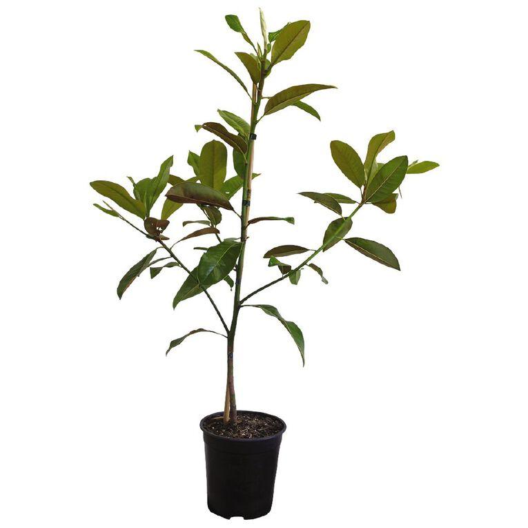 Magnolia Evergreen 3.3L Pot, , hi-res