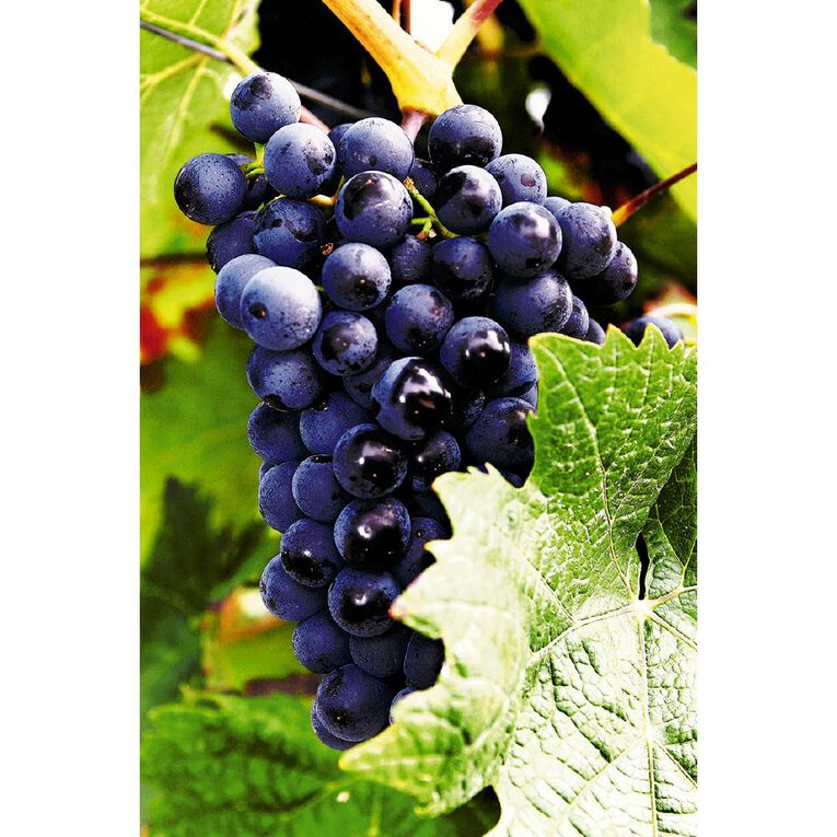Fruit Sation Grape Schyler 12cm Pot, , hi-res