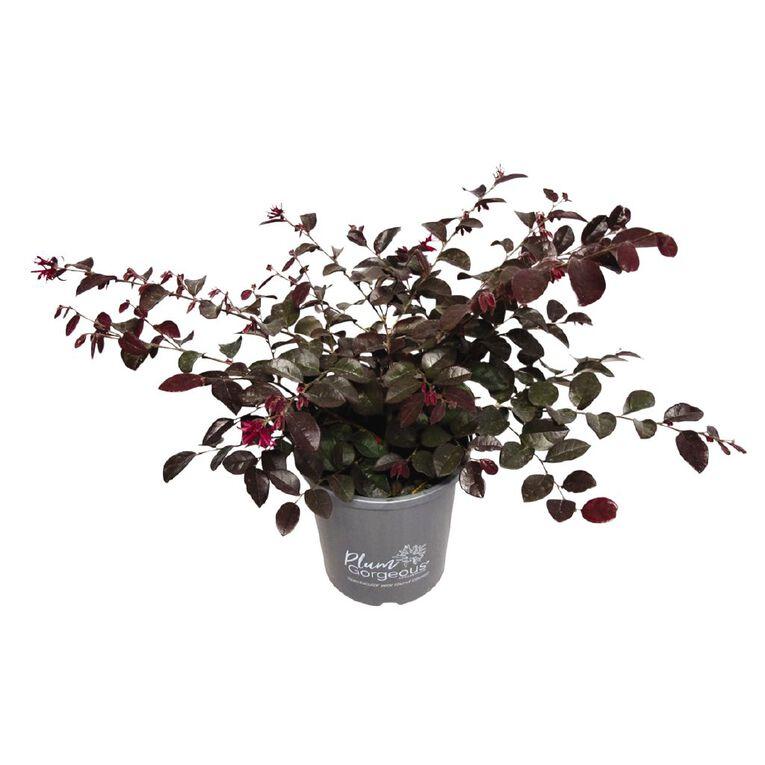 Lorapetalum Plum Gorgeous, , hi-res