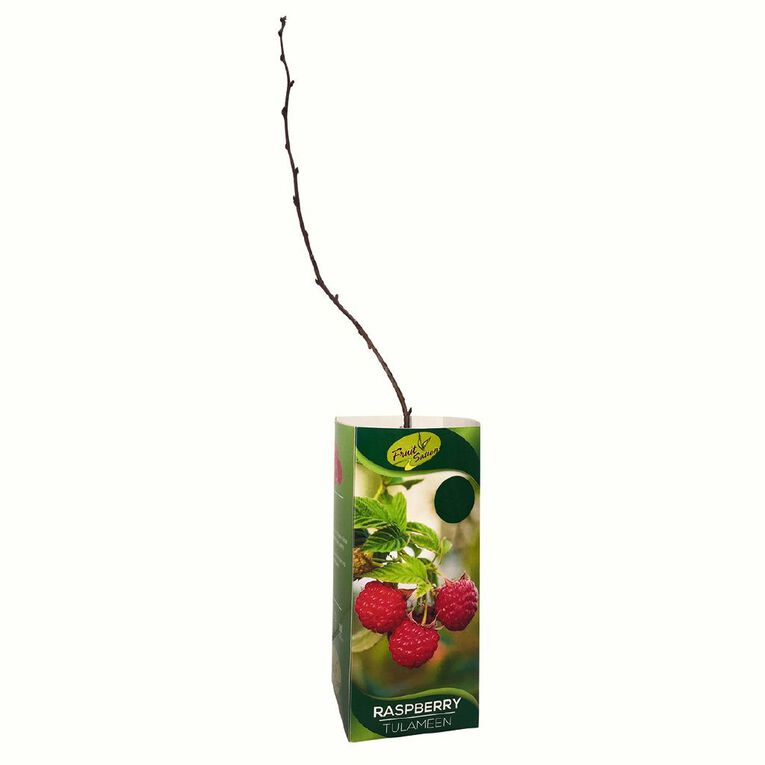 Fruit Sation Berry Fruit Raspberry Tulameen Bareroot, , hi-res