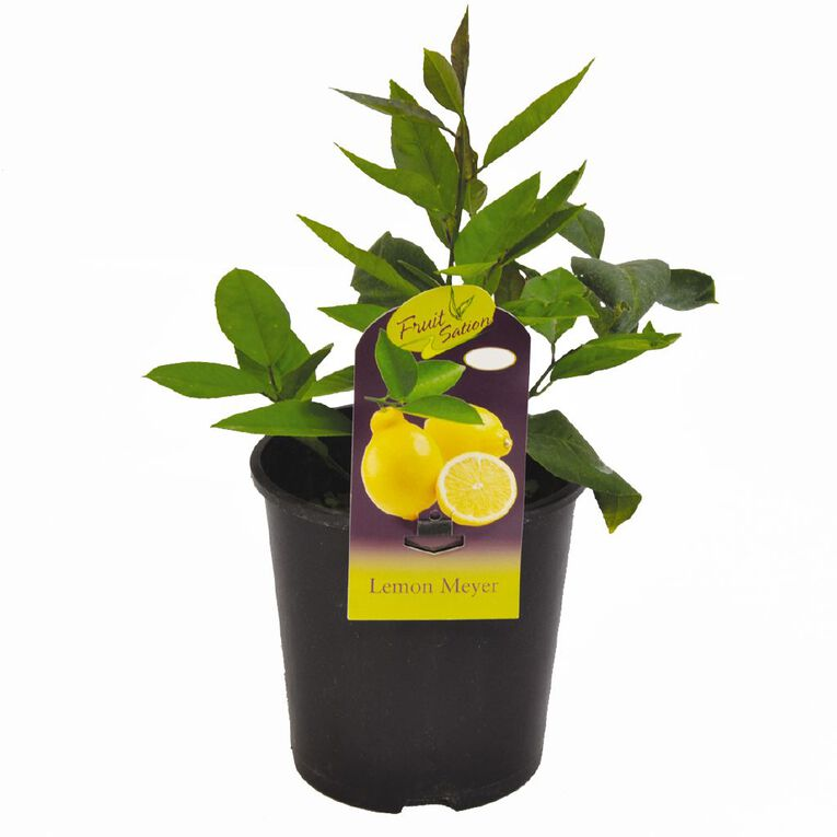 Fruit Sation Citrus Lemon Meyer Pot 1.9L Pot, , hi-res