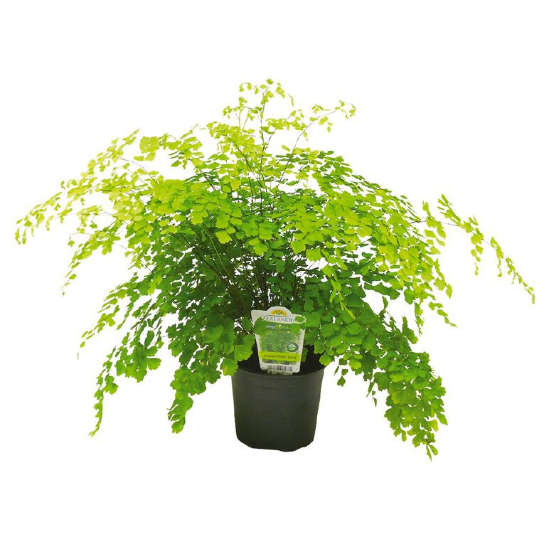 Indoor Maidenhair Fern 12cm Pot, , hi-res