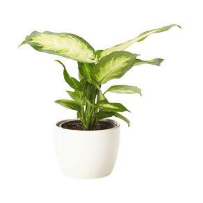 Foliage in Ceramic (Tabletops) 9cm Pot