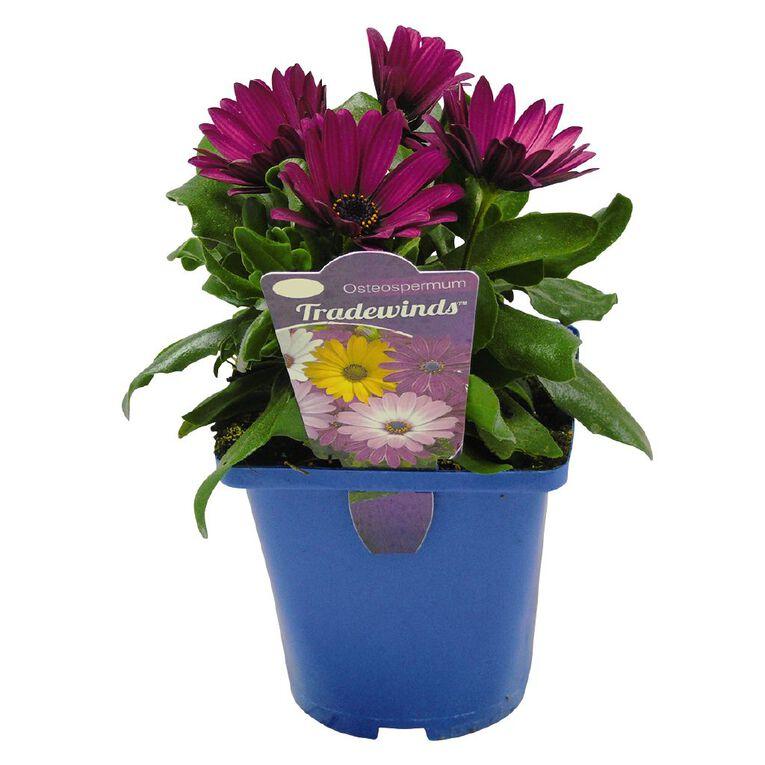 Osteospermum Tradewinds Assorted 10cm Pot, , hi-res