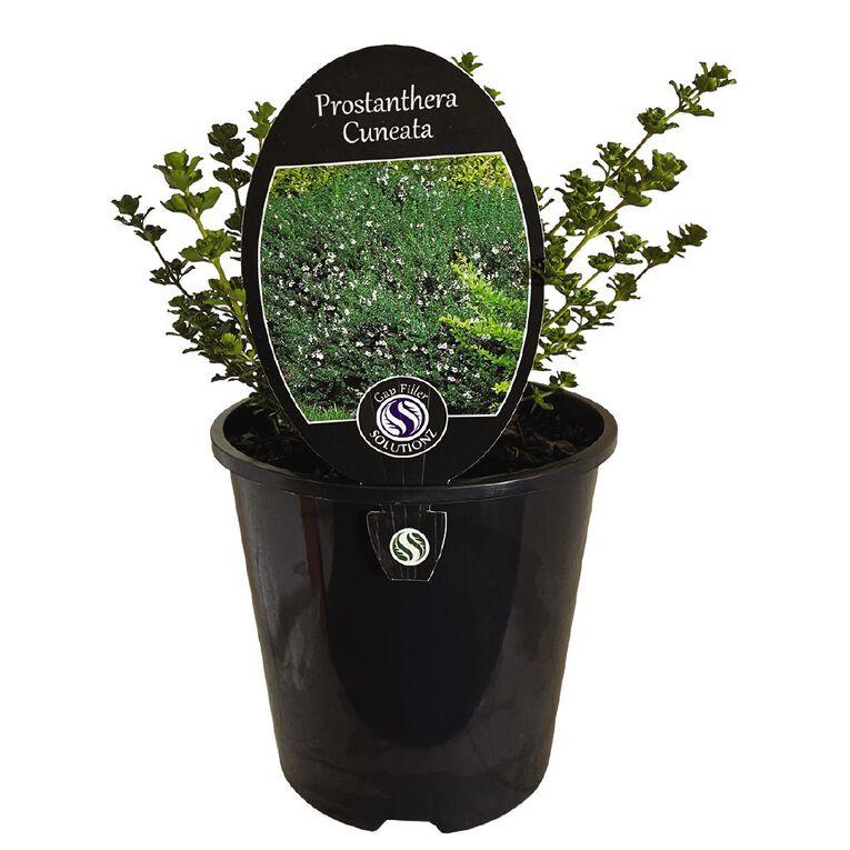 Prostranthera Cuneata 1.9L Pot, , hi-res