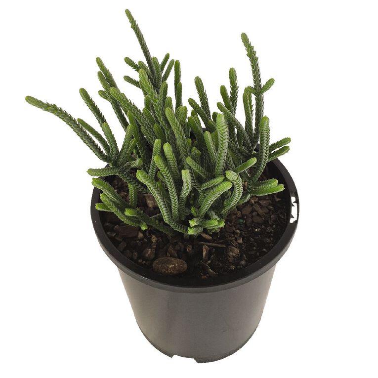 Decor Succulents 1.3L Pot, , hi-res