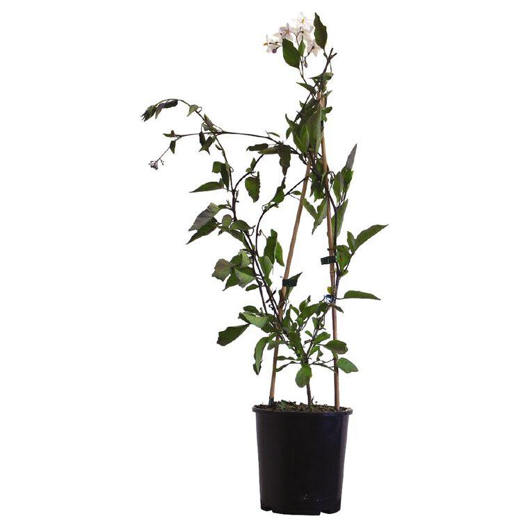 Solanum Jas 2L Pot, , hi-res