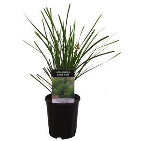 Lomandra Assorted 1L Pot