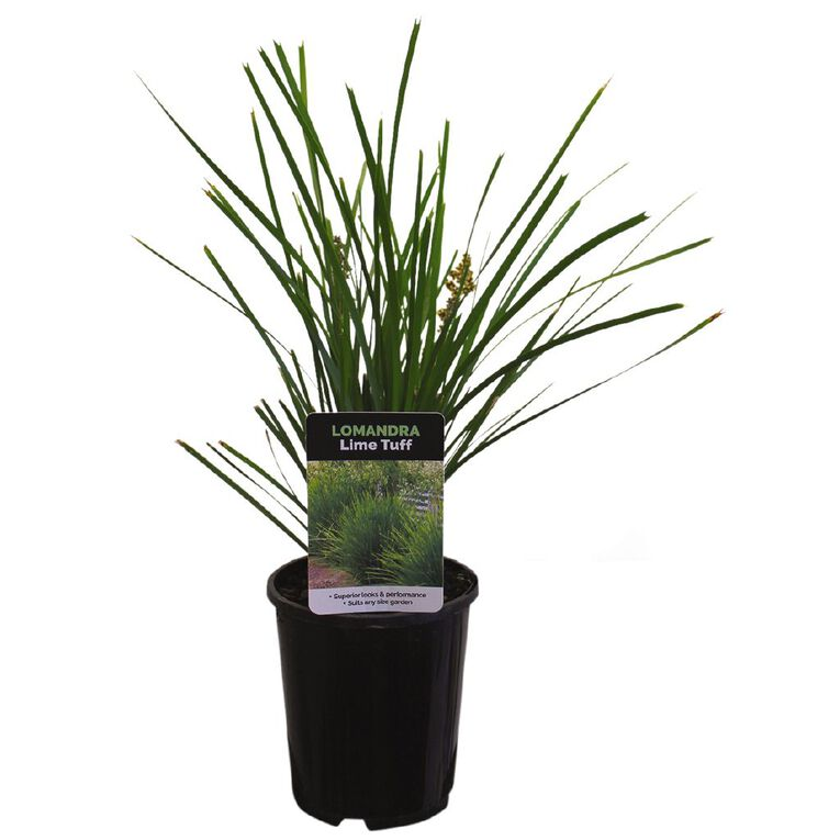 Lomandra Assorted 1L Pot, , hi-res