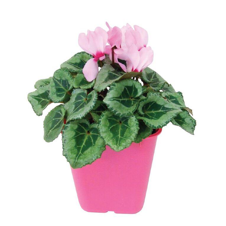 Cyclamen 10.5cm Pink Pot, , hi-res