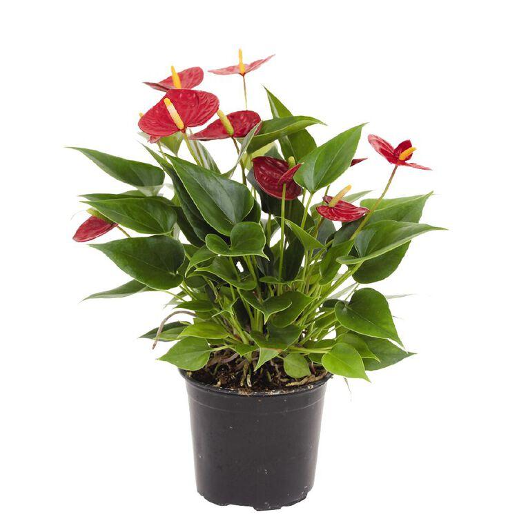 Anthurium Red Success 12cm, , hi-res