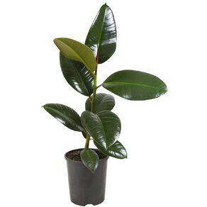 Ficus Robusta 14cm Pot