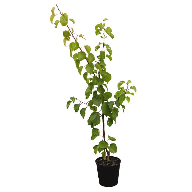 Peach Tree 4.7L Pot, , hi-res image number null