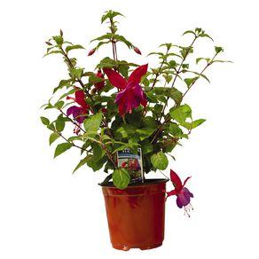 Fuchsia 15cm Pot