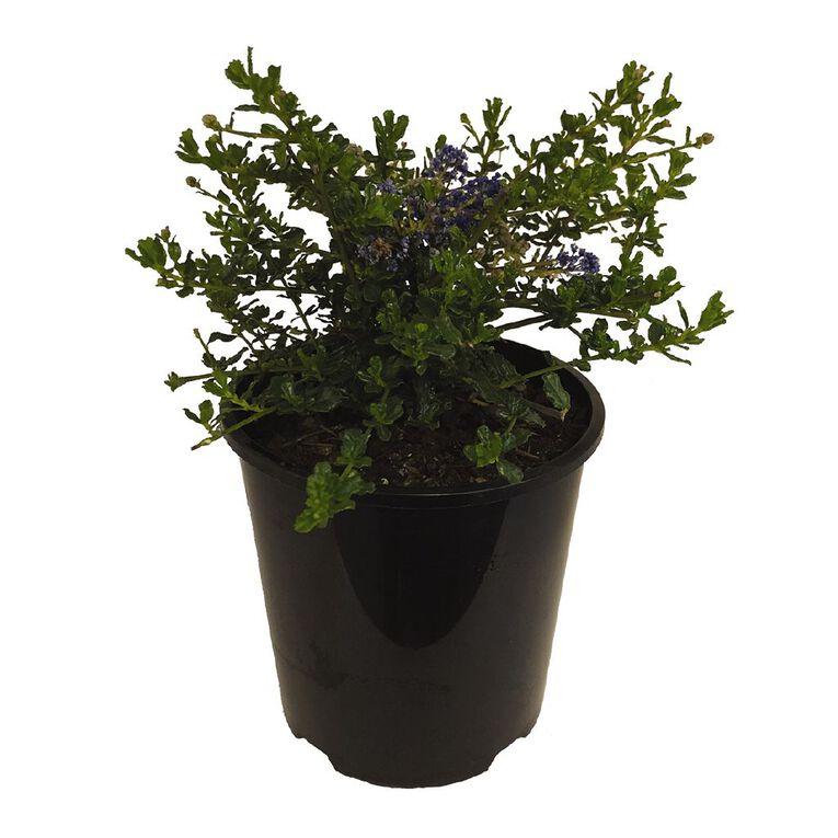 Ceanothus Blue Carpet 1.9L Pot, , hi-res