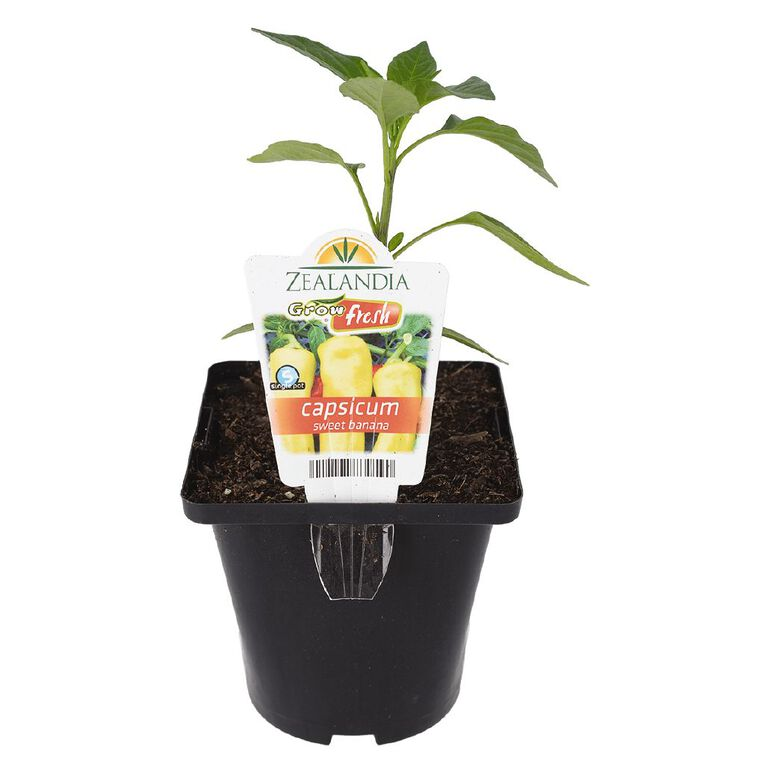 Growfresh Single Capsicum Sweet Banana 10cm Pot, , hi-res