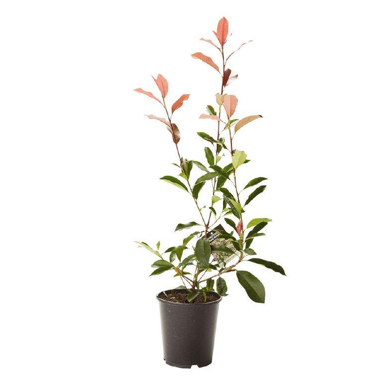 Photinia Red Robin 3.3L Pot, , hi-res
