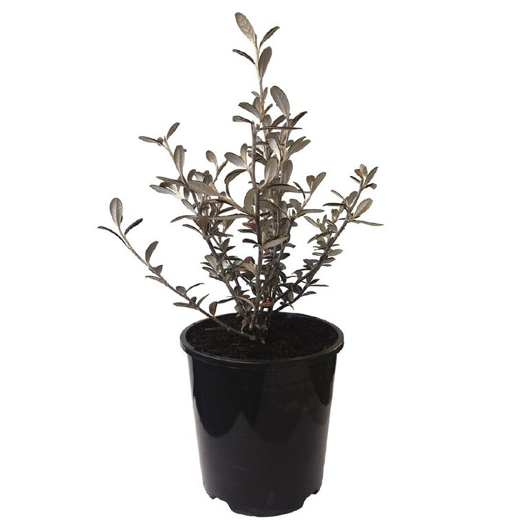 Corokia Frosted Chocolate 1.9L Pot, , hi-res