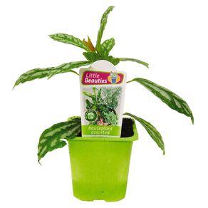 Indoor Little Beauties 7cm Pot
