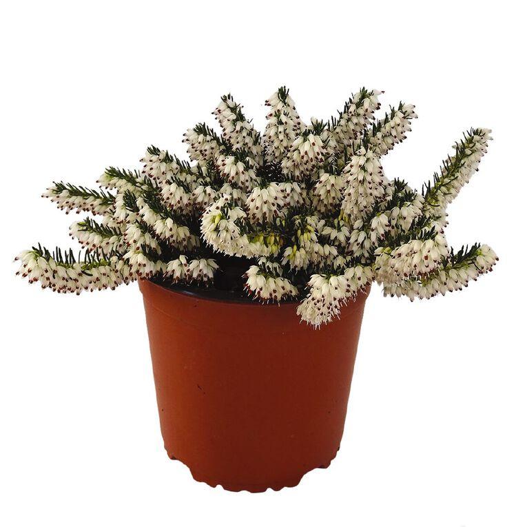 Ericas 1.5L Pot, , hi-res