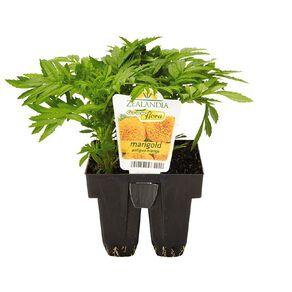 Growflora Marigold Antique Orange