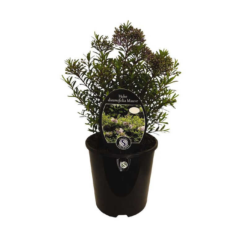 Hebe Diosmafolia Mauve 2L Pot, , hi-res