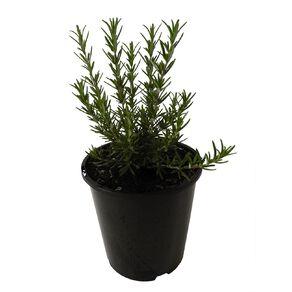 Rosemary Tuscan Blue 1.9L Pot