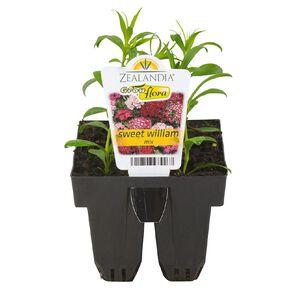 Growflora Sweet William
