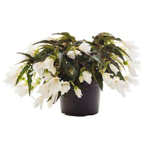 Begonia Waterfall EWN 13cm Pot