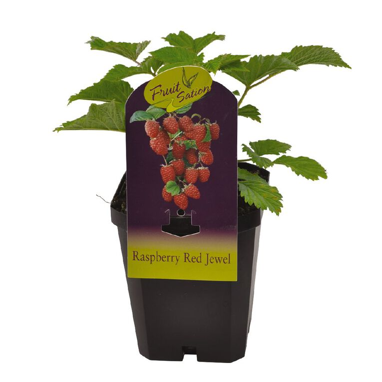 Fruit Sation Raspberry Jewel 12cm Pot, , hi-res