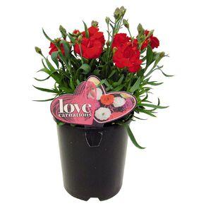 Love Carnation 14cm Pot