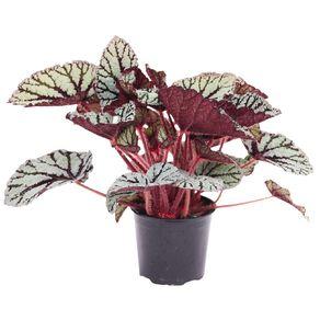 Begonia Rex 12cm Pot