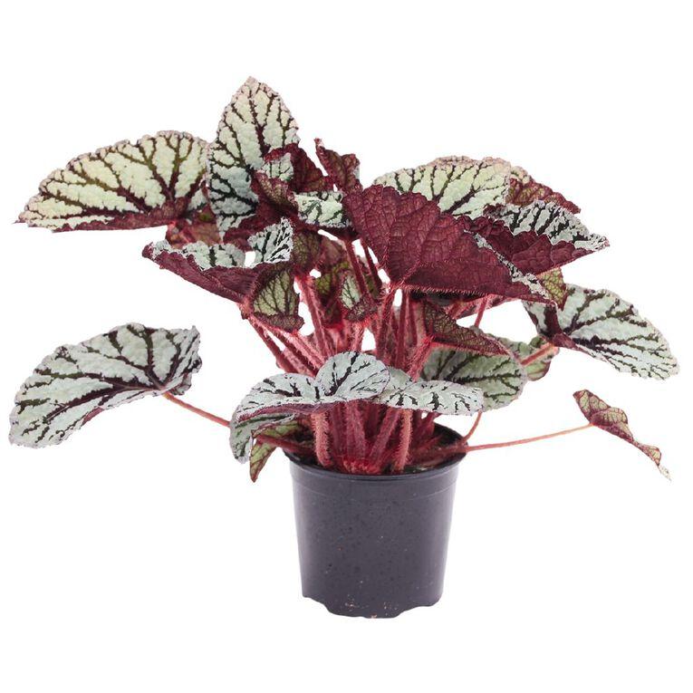 Begonia Rex 12cm Pot, , hi-res