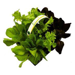 Super Six Salanova Lettuce 6PK