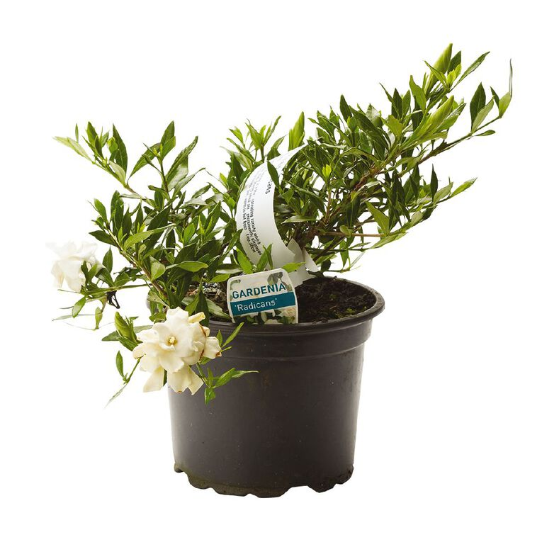 Gardenia Radicans 2L Pot, , hi-res