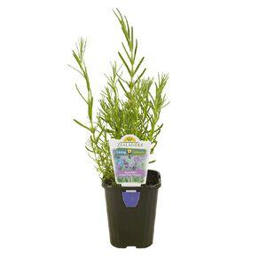 Lavender Assorted 10cm Pot