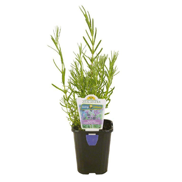 Lavender Assorted 10cm Pot, , hi-res