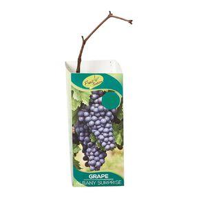 Fruit Sation Berry Fruit Grape Albany Surprise Bareroot