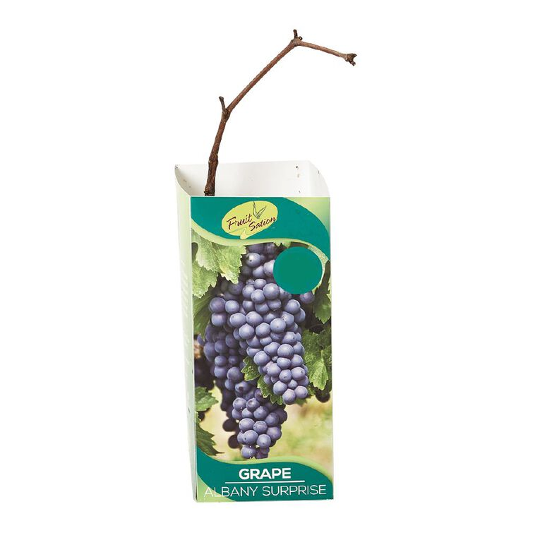 Fruit Sation Berry Fruit Grape Albany Surprise Bareroot, , hi-res