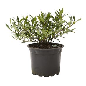 Gardenia Radicans 2L Pot
