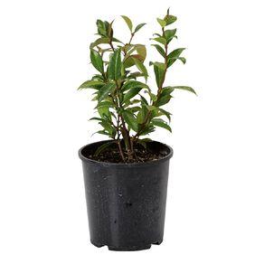Trachelospermum Jasminoides 'Star Jasmine' 1.9L Pot
