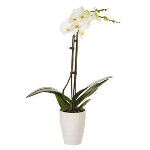Phalaenopsis Orchid Ceramic 12cm Pot