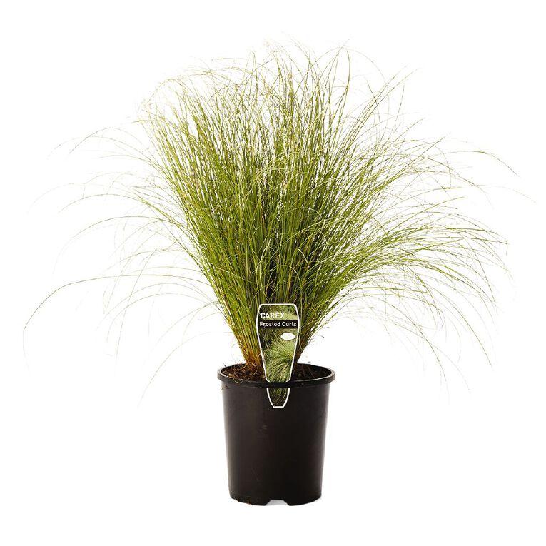 Carex Frosted Curls 1.5L Pot, , hi-res