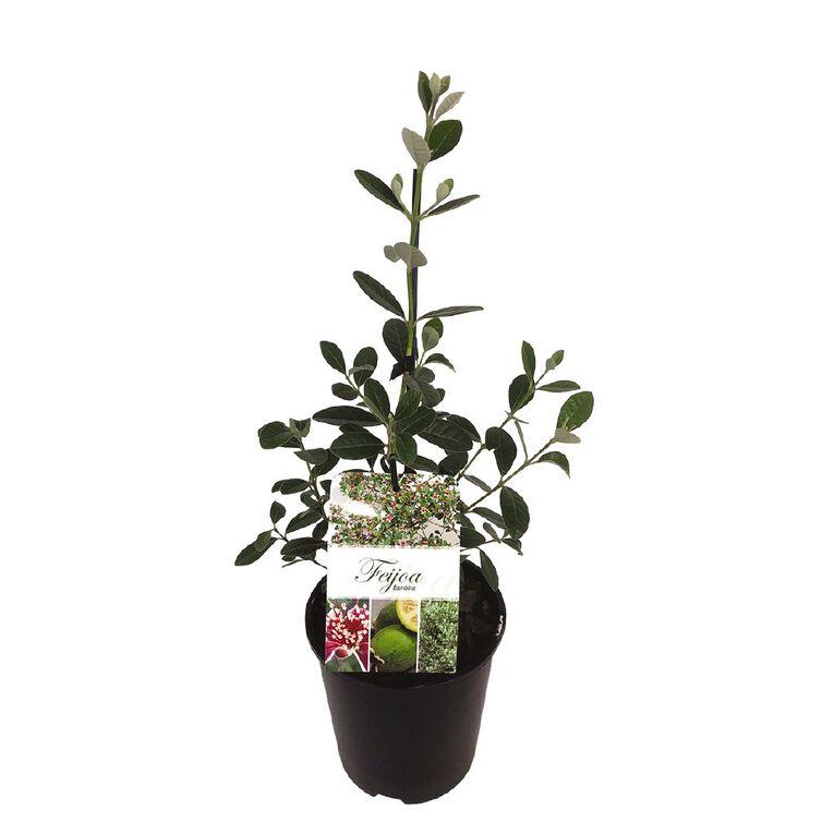 Feijoa Bambinia 1.9L, , hi-res