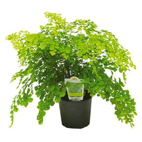 Indoor Maidenhair Fern 12cm Pot